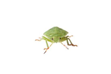 prasina: green bug isolated on white - Polomena prasina