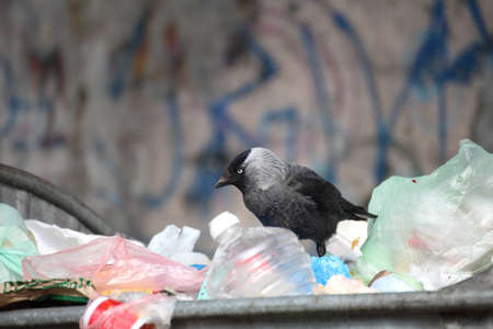 jackdaw ( Corvus monedula ) garbage dump dustbin