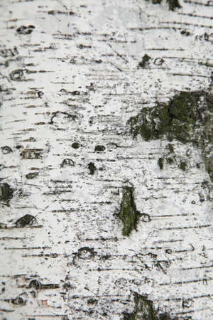 bark: Texture of birch bark, background white Stock Photo