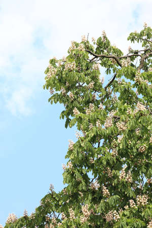 conker: Blooming conker chestnut green tree Stock Photo