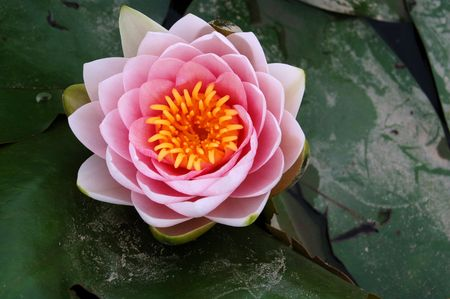 Water lily Stock Photo - 1352822