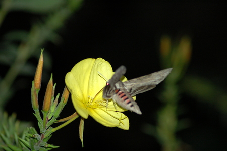 Night Butterfly photo