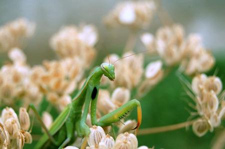 agressive: Praying mantis
