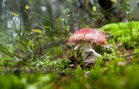 Fairytale like fly agaric mushroom, in the forest, on a rainy day. Stock Photo