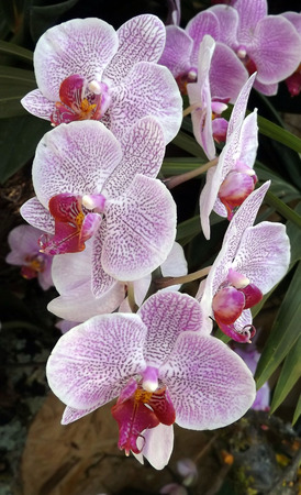 Pink orchid blooms beutiful Phaleonopsis