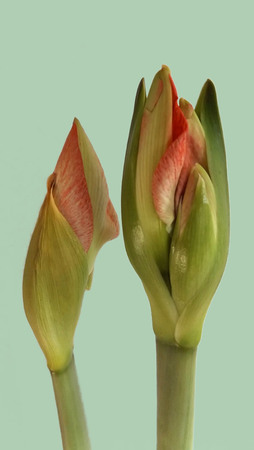 Two red amaryllis bud before blooming Hippeastrum
