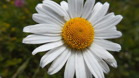 leucanthemum: Great white daisy flower, Leucanthemum maximum margaret