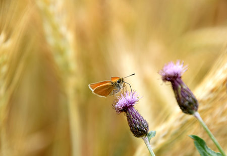 Rhopalocera Butterfly on flowering creeping thistle, Cirsium arvense Stock Photo