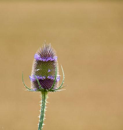 Multicolor Dipsacus laciniatus, prickly cutleaf teasel bloom in summer Stock Photo