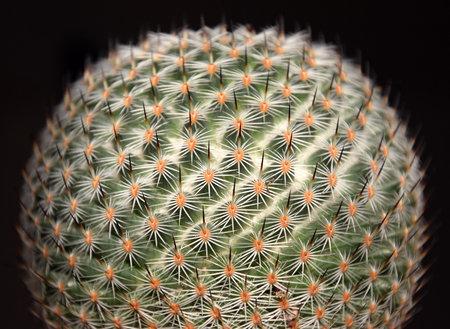 Lobivia famimatensis globular Cactus macro, against a black background Stock Photo