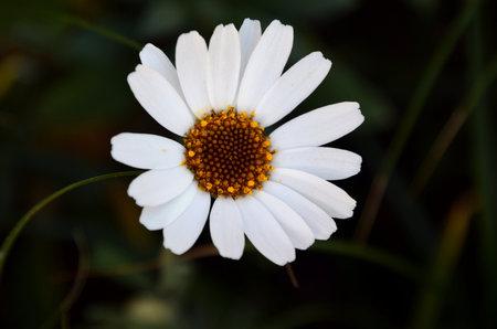 Beautiful white margarita flower close up