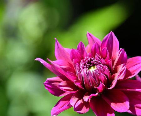 Purple Dahlia close-up in a sunny garden