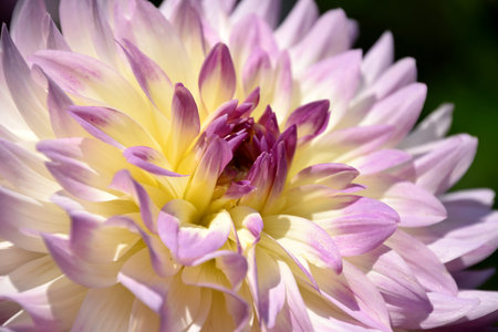 Colorful Dahlia bloom, multicolor flower macro Imagens