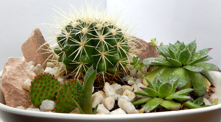 Different Cacti and succulents in flowerpot between small rocks