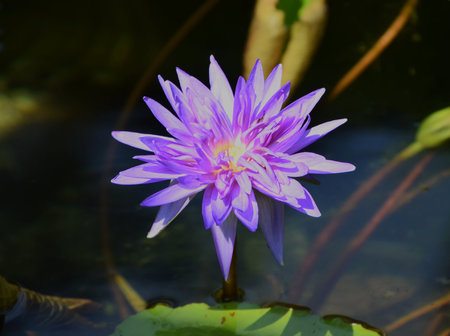 Purple Waterlily nymphaea
