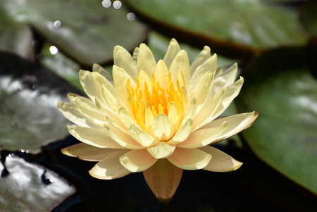 Beautiful Peachy Yellow Waterlily, a nymphaea mangkala ubol
