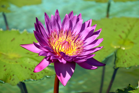 Purple Waterlily nymphaea Cosmos