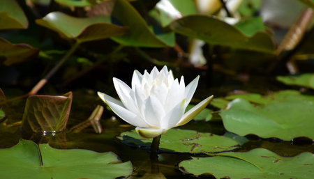 White Waterlily Nymphaea Virginia
