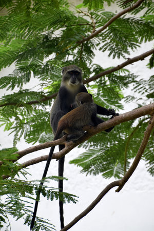 Young suckling Vervet monkey and female adult, on the tree