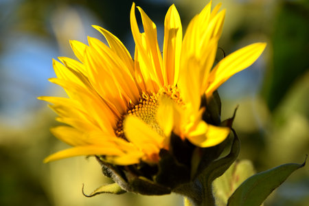 closeup of yellow sunflower blooming