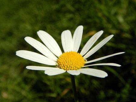 White margaret flower in green nature