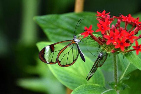 Greta oto, window butterfly on green leaf, close-up