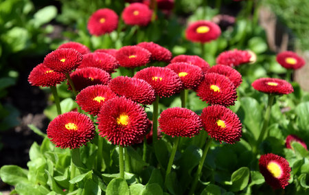 Bellis perennis red, english daisy in sunny garden