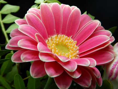 pink gerbera flower close up