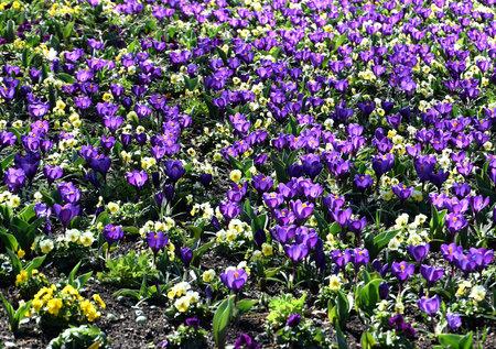 Field of crocuses, purple crocus flowers in the garden
