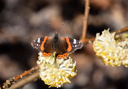 butterfly on Edgeworthia chrysantha, yellow Oriental paperbush springflower
