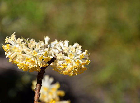 Close-up of yellow flowers of Edgeworthia chrysantha, Oriental paperbush