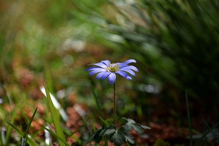 Purple spring daisy isolated in garden