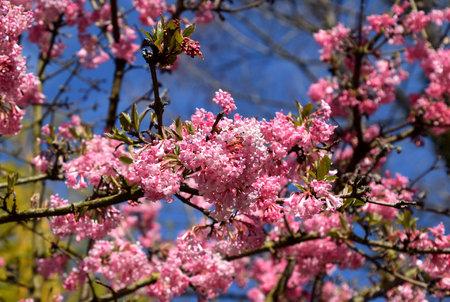 Viburnum bodnantense Charles Lamont Arrowwood tree blossom