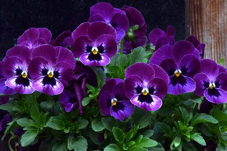 Purple garden pansies