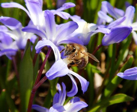 bee on scilla springflower