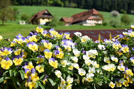 Colorfull pansies blooming in German Black Forest, rural nature in background