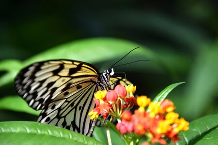 Idea leuconoe, white black butterfly on Lantana camara flower