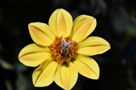 bee on yellow dandelion flower, against dark background