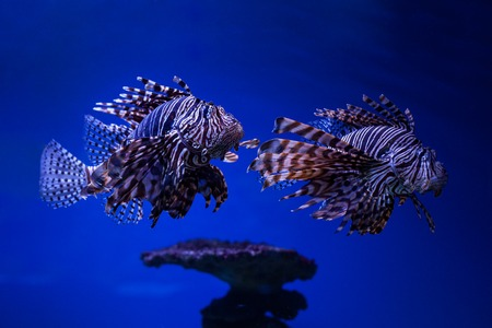 zebra lionfish: Fish butterfly-cod on the seabed in water.