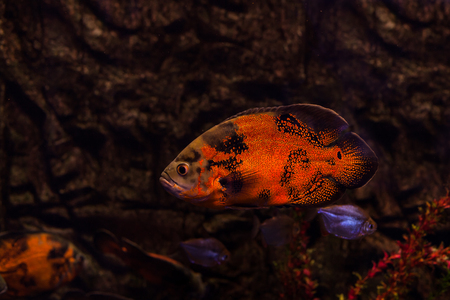 perciformes: Fish bright red color, floats on the ocean floor.