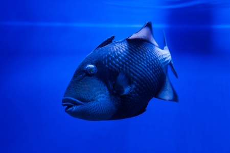 triggerfish: Titan Triggerfish floats in the water in the sea.