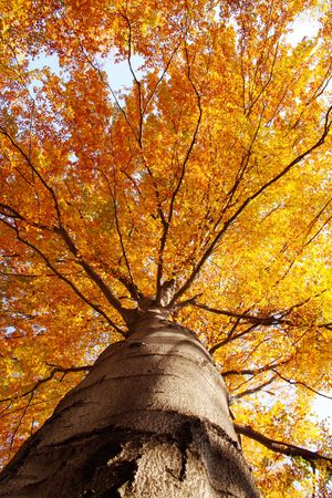 Tree in fall from below on a sunny day Stock Photo