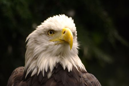 Bald Eagle portrait, Budapest Zoo photo