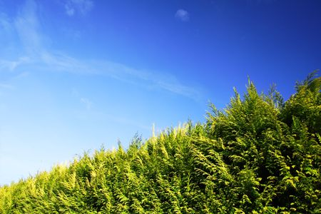 green hedge with clear blue sky in the background