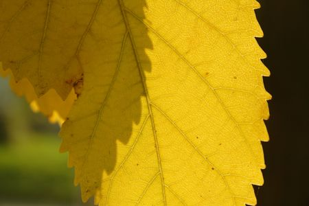 nervation: yellow leaf wit nervation
