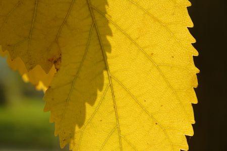 nervation: yellow leaf wit nervation