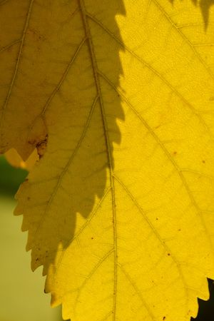 nervation: yellow leaf with nervation