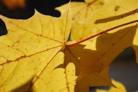 nervation: yellow leaf with nervation in autumn