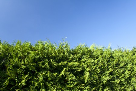 green hedge with clear blue sky in the background Stock Photo - 7896657