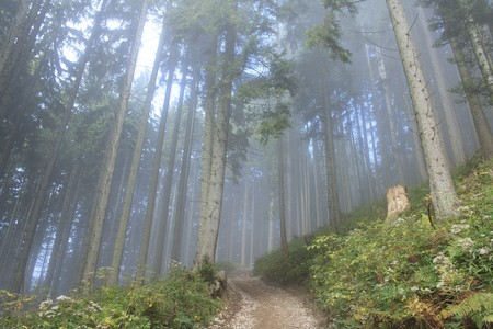 foggy forest in autumn with tall pines Stock Photo